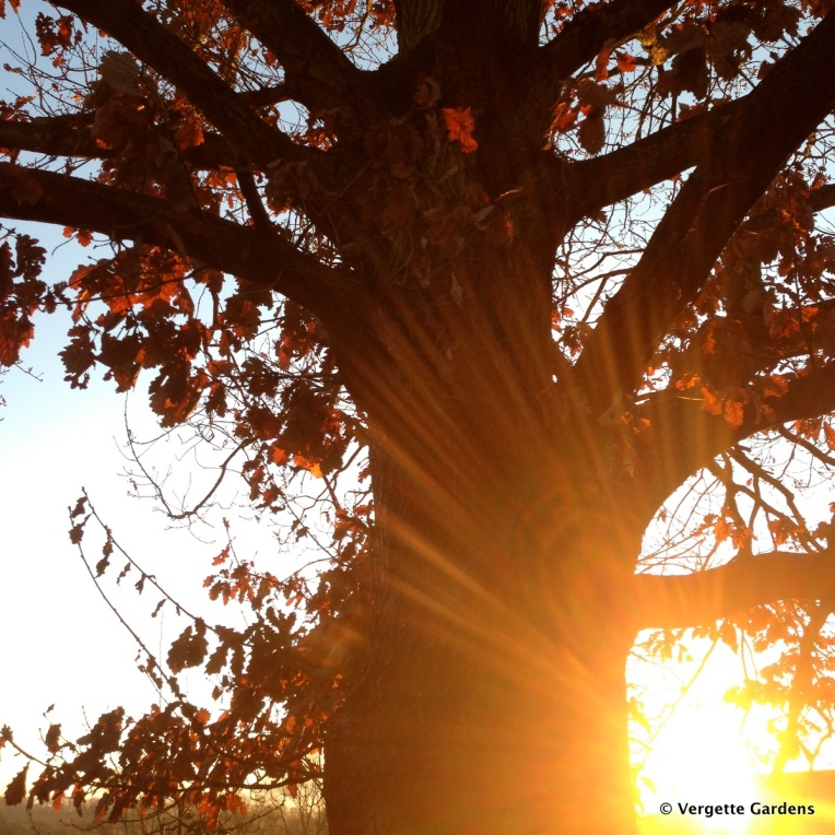Sun rising beneath the Oak