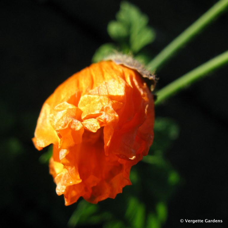 Orange Welsh Poppy - Meconopsis cambrica var aurantiaca