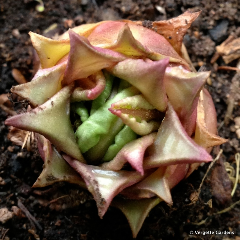 Primula bulleyana or Candelabra Primula
