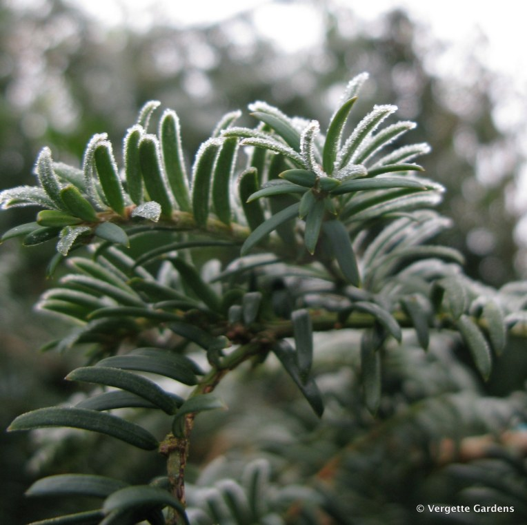 Taxus baccata or English Yew