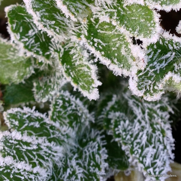 Frosty Papaver orientale