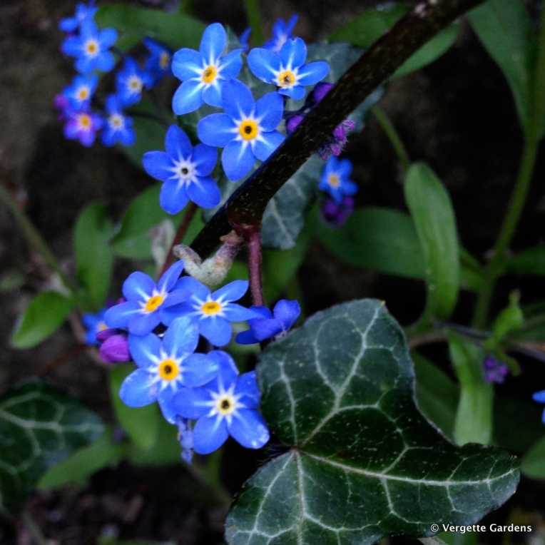 Myosotis sylvatica, Forget-me-not