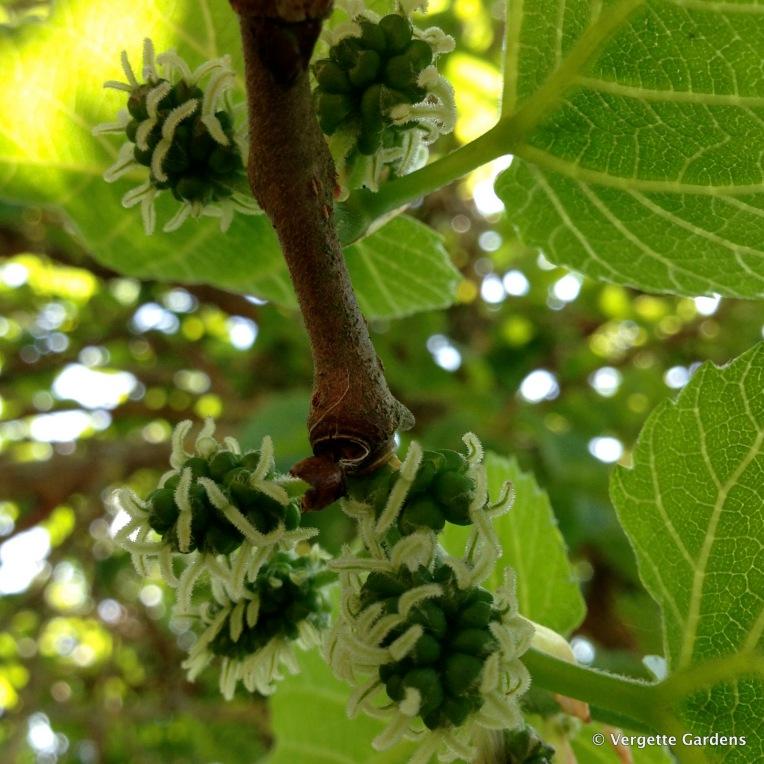 Morus nigra