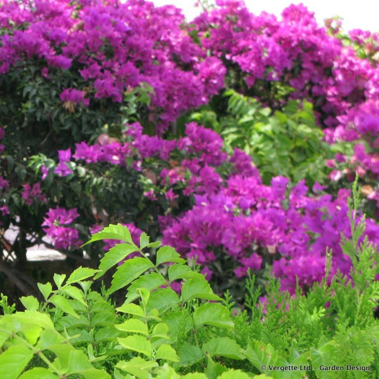 Bougainvillea with Campsis foliage