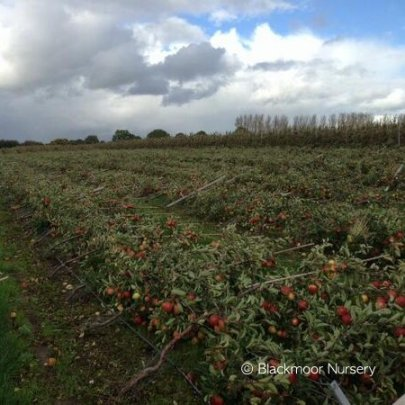 Storm damaged Braeburn orchard