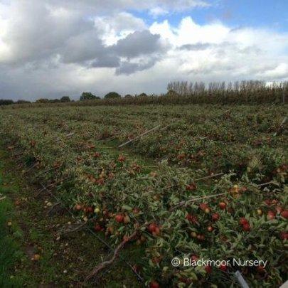 Storm damaged Braeburn orchard