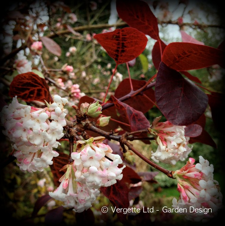 Viburnum × bodnantense 'Dawn'  Cotinus coggygria 'Royal Purple' AGM