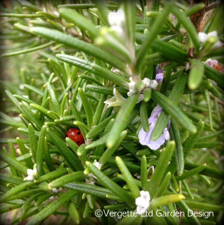 Rosmarinus officinalis and overwintering Ladybird