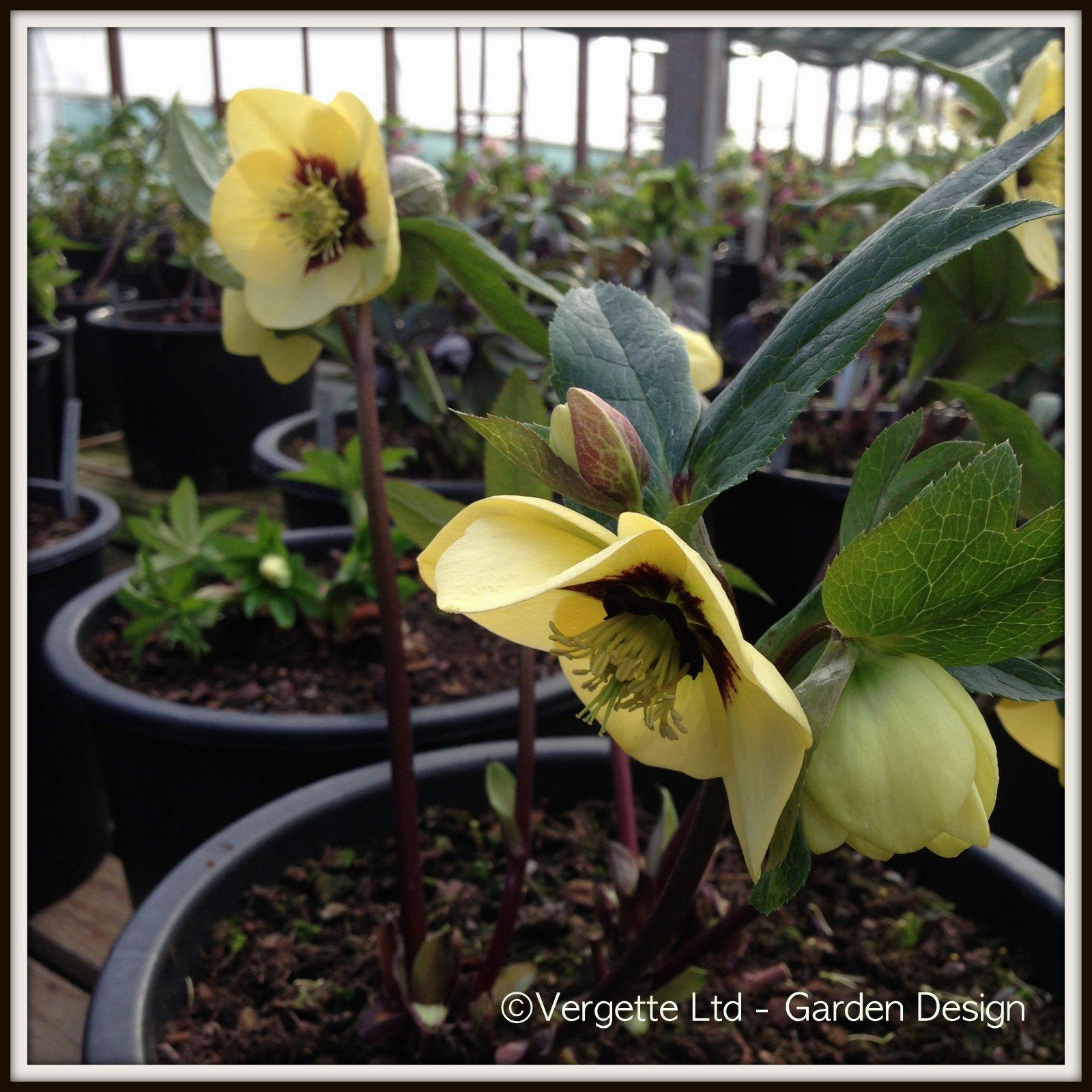 Jardinería del Noroeste: Hellebores Are Winter Jewels