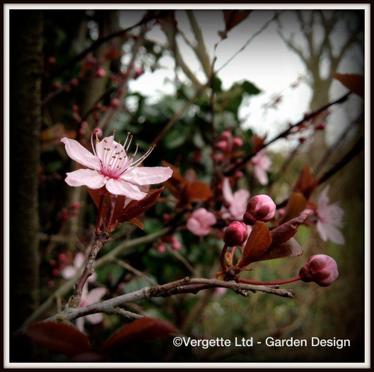 Prunus cerasifera 'Nigra' AGM