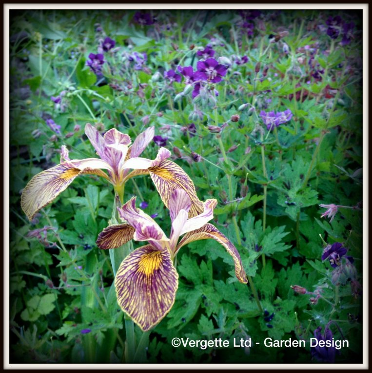 Iris 'Holden Clough' with Geranium phaeum 'Lily Lovell'