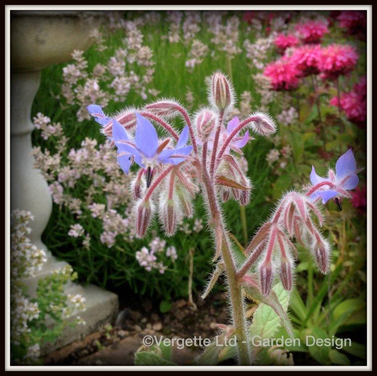 Borago officinalis, Lavandula angustifolia 'Loddon Pink' and Monarda didyma