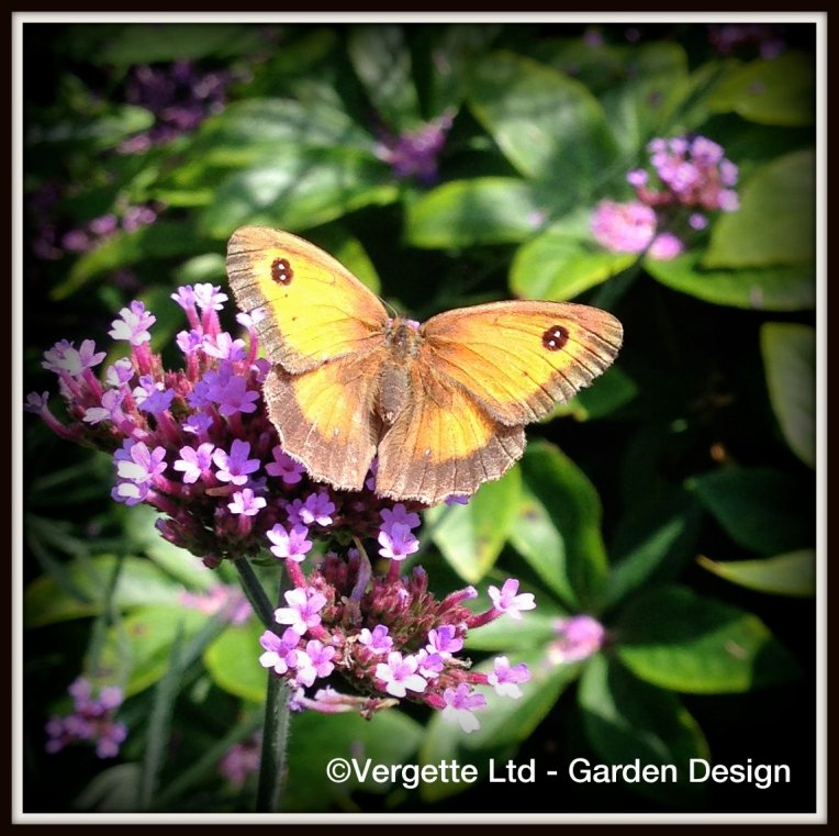 Gatekeeper on Verbena 'Lolipop""