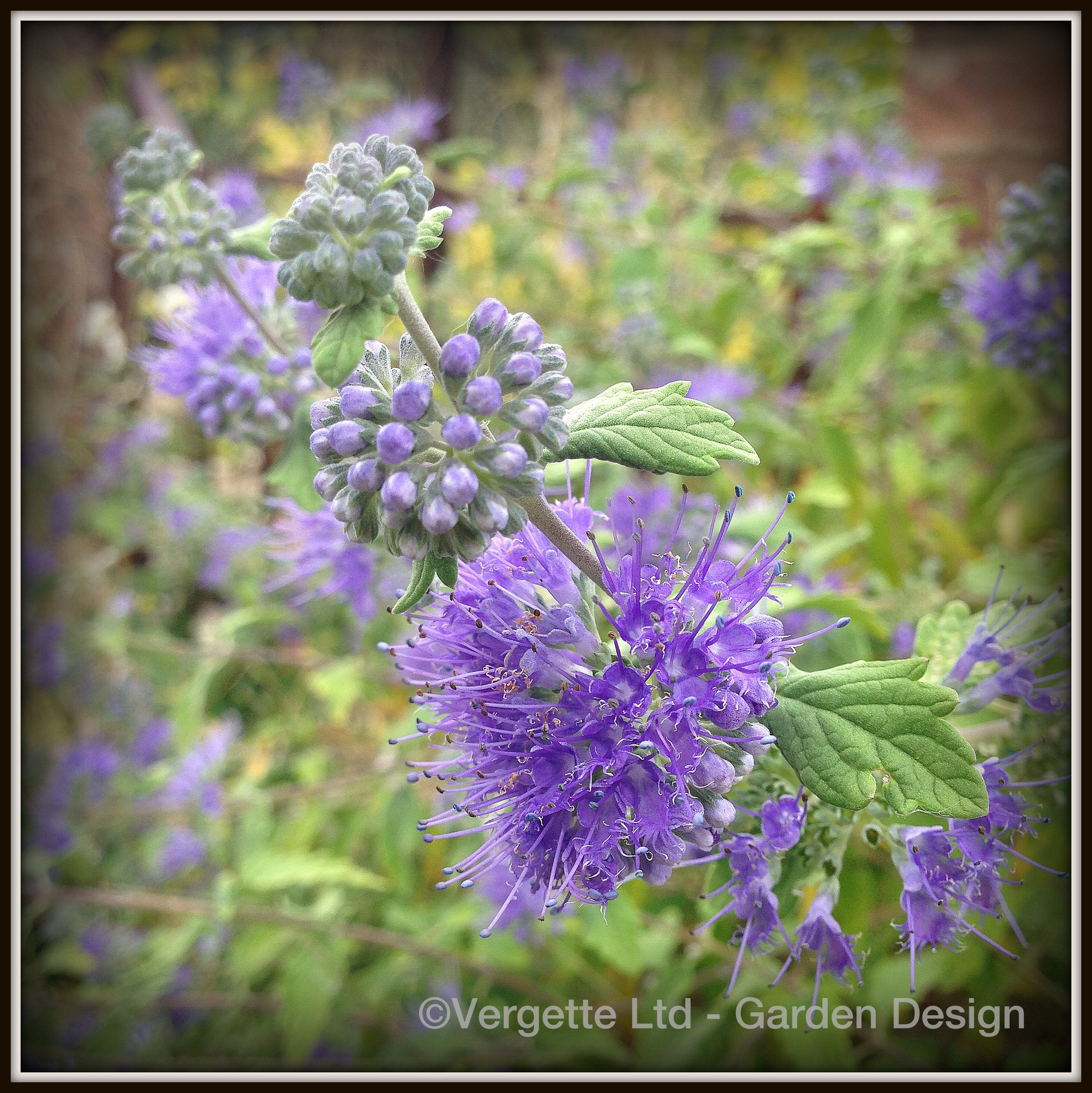 heavenly blue vergette gardens. Black Bedroom Furniture Sets. Home Design Ideas