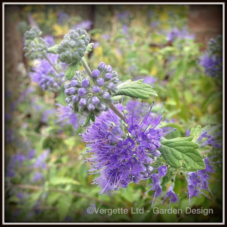 Caryopteris × clandonensis 'Heavenly Blue'
