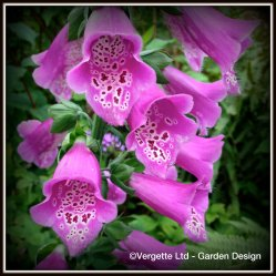 Vergette Ltd Garden Design Hereford and Worcester West Midlands Plant Sourcing UK Digitalis Foxy Mixed