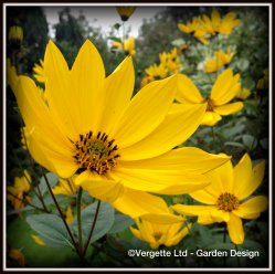 Vergette Ltd Garden Design Hereford and Worcester West Midlands Plant Sourcing UK Perennial helianthus