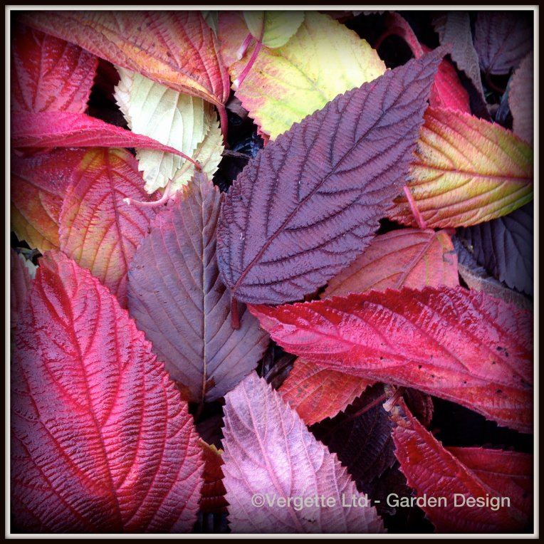 Viburnum Leaf Fall