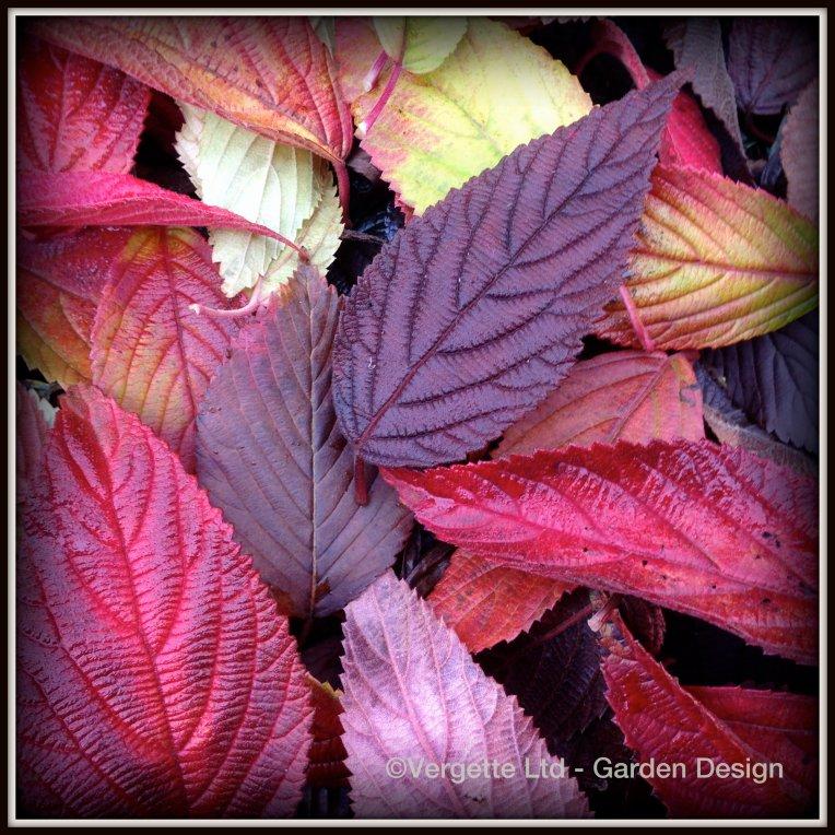 Viburnum Leaf Fall