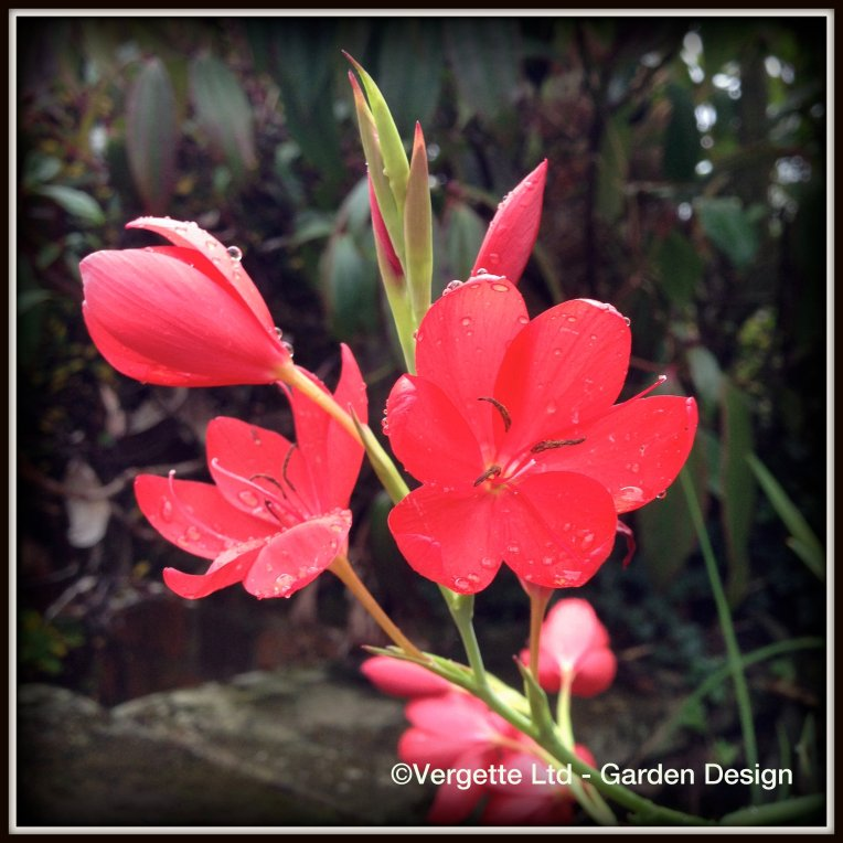 Hesperantha coccinea 'Major'