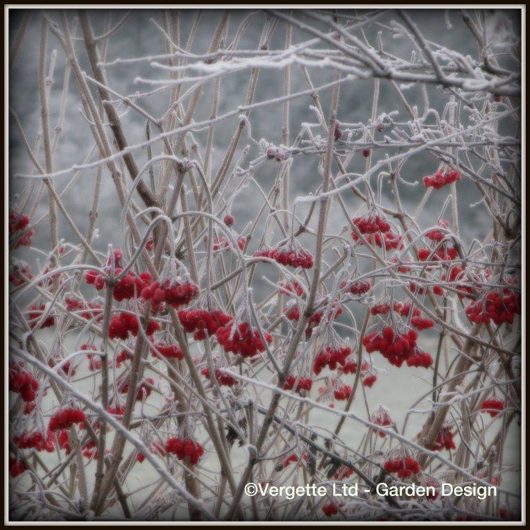 Frosty Viburnum