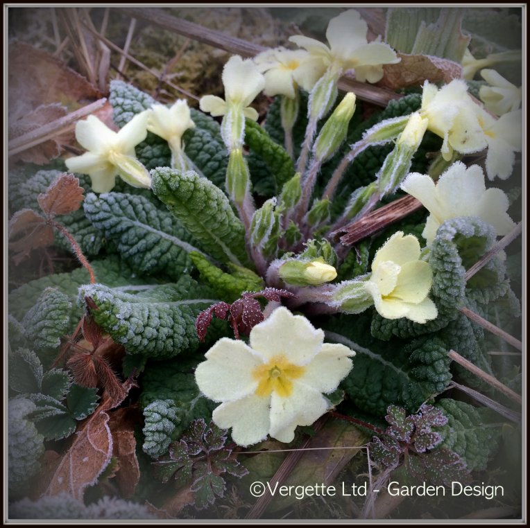 Primrose gamely flowering through the frost