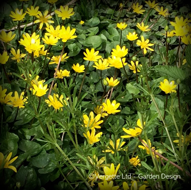 Carpet of Celandines