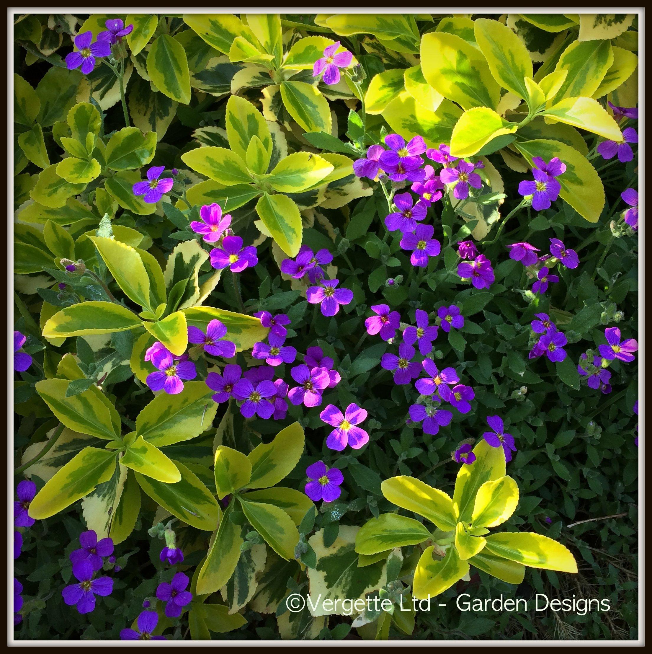 Euonymus fortunei 'Emerald 'n' Gold' with Aubretia 'Purple ...