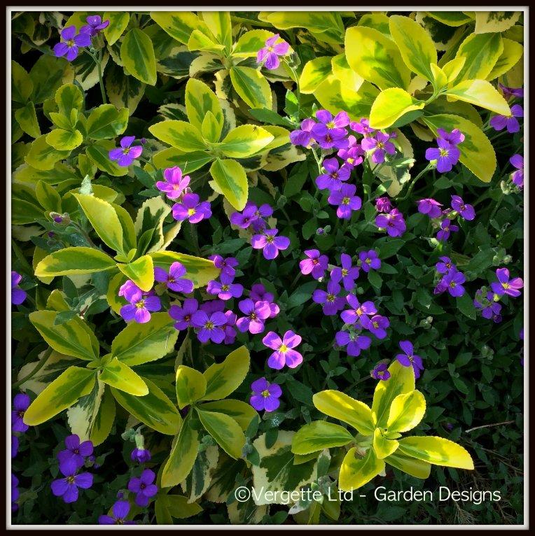 Euonymus fortunei 'Emerald 'n' Gold' Aubretia 'Purple Cascade'