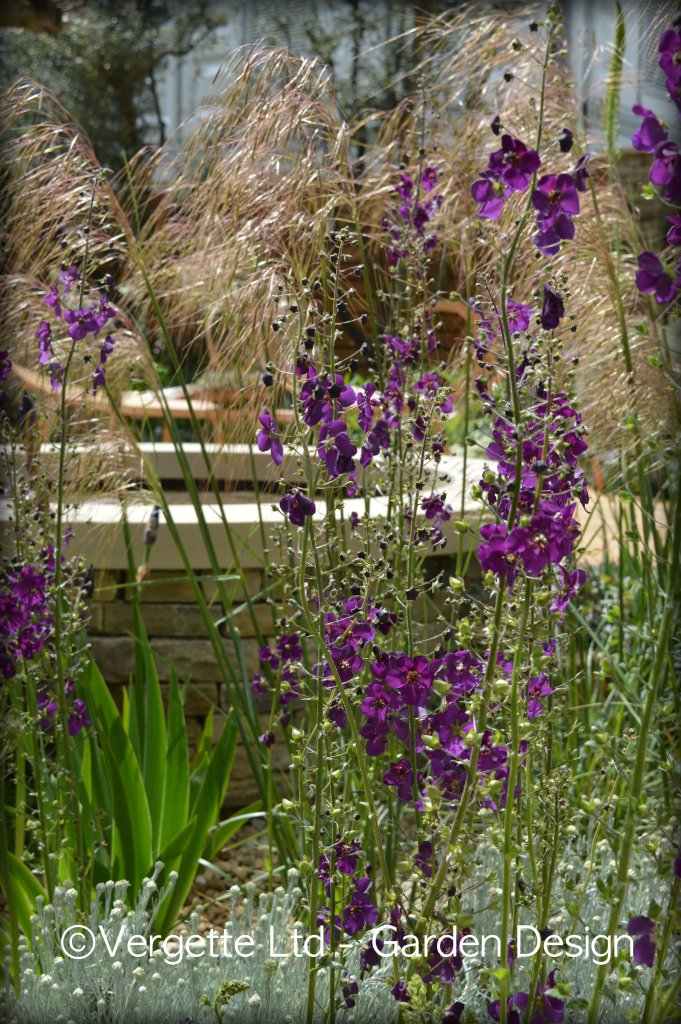 Verbascum and Stipa