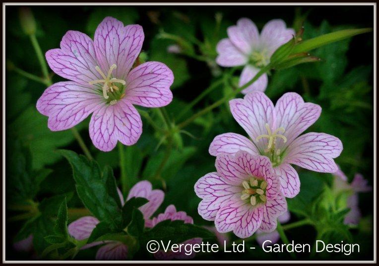 Geranium × oxonianum