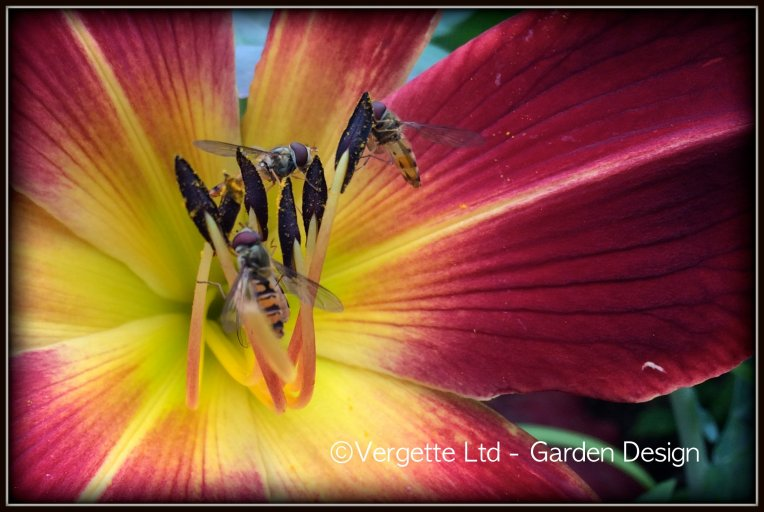 Hemerocallis and Hover-flies