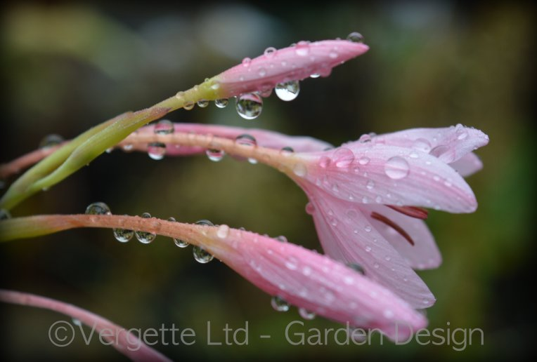 Hesperantha coccinea 'Mrs Hegarty'