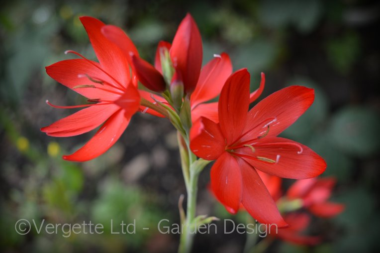 Hesperantha (Schizostylis) 'Cindy Towe'