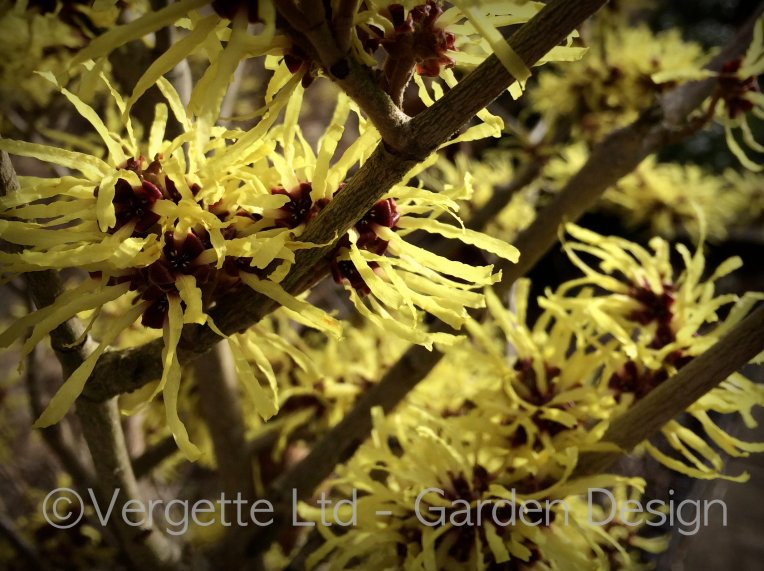 Vergette Ltd Garden Design Hereford Worcester Westmidlands UK Hamamelis