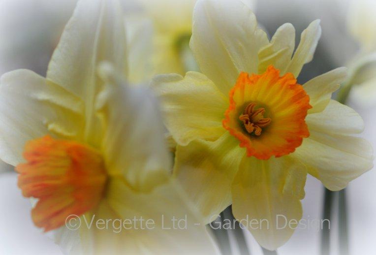 Daffodil corona Vergette Garden Design Hereford