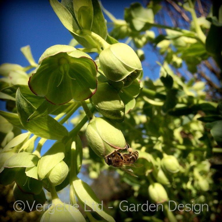 Helleborus foetidus early flowering plant for pollinators