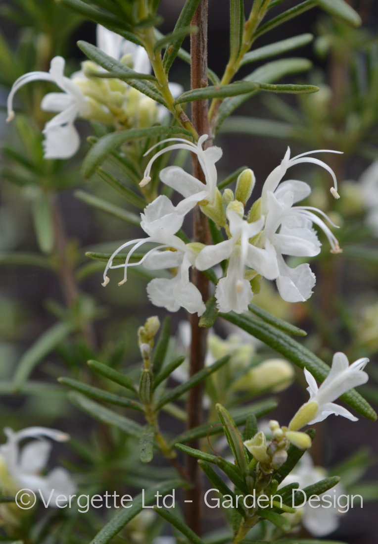Unusual Pine scented pure white Rosemary from The Cottage Herbery