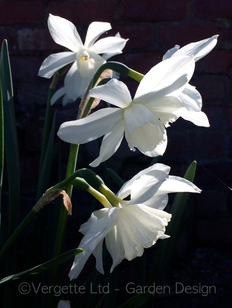 Daffodil Thalia enjoying it's moment in the Spotlight