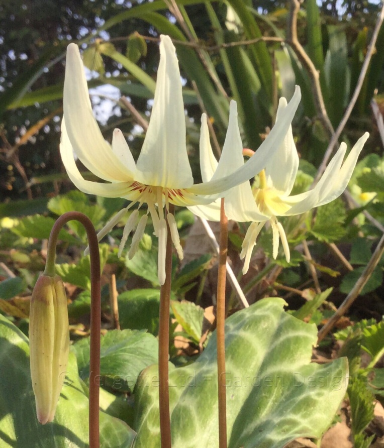 Erythronium californium White Beauty Vergette GardenDesign