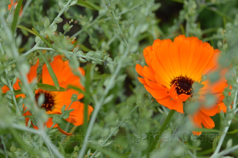 Greek Cress seed heads with Calendula