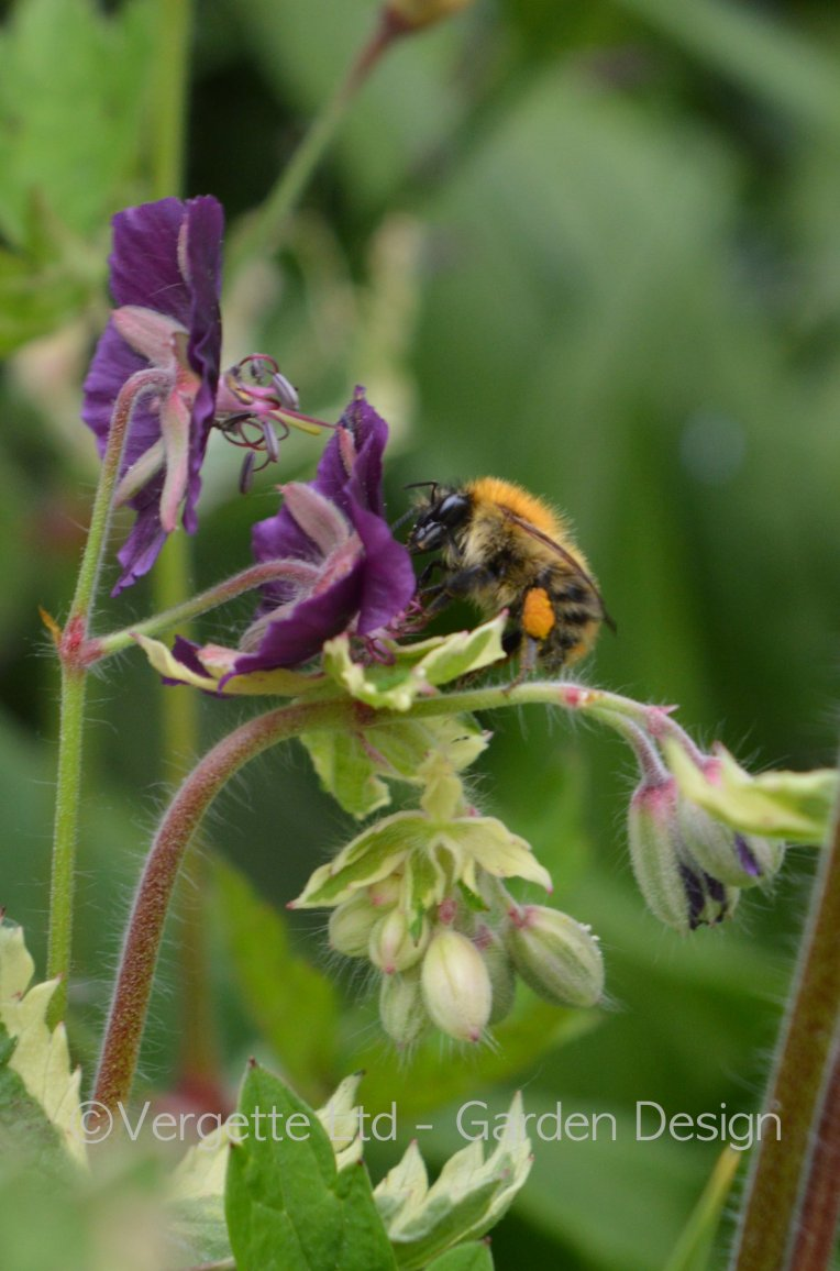 Cream variegated Geranium phaeum with Common Carder bee