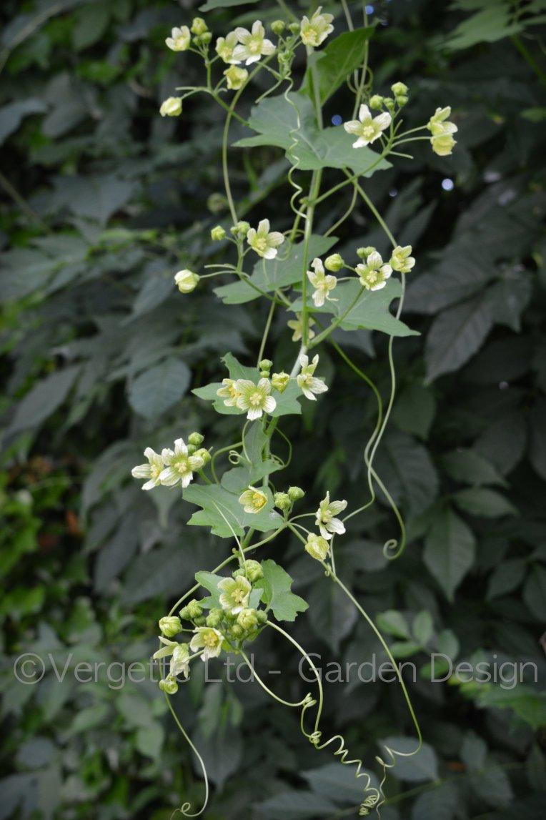 Bryonia alba - White Bryony