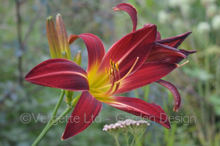 Large red flowered Day Lily 'Strider Spider'