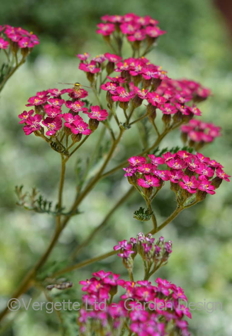 First year flowering perennial Achillea 'Cerise Queen' - Vergette Ltd Garden Design
