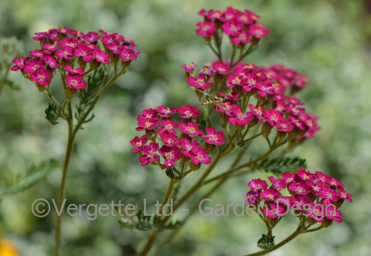 Cutting Garden Achillea 'Cerise Queen' grown in Hereford Vergette Ltd Garden Design