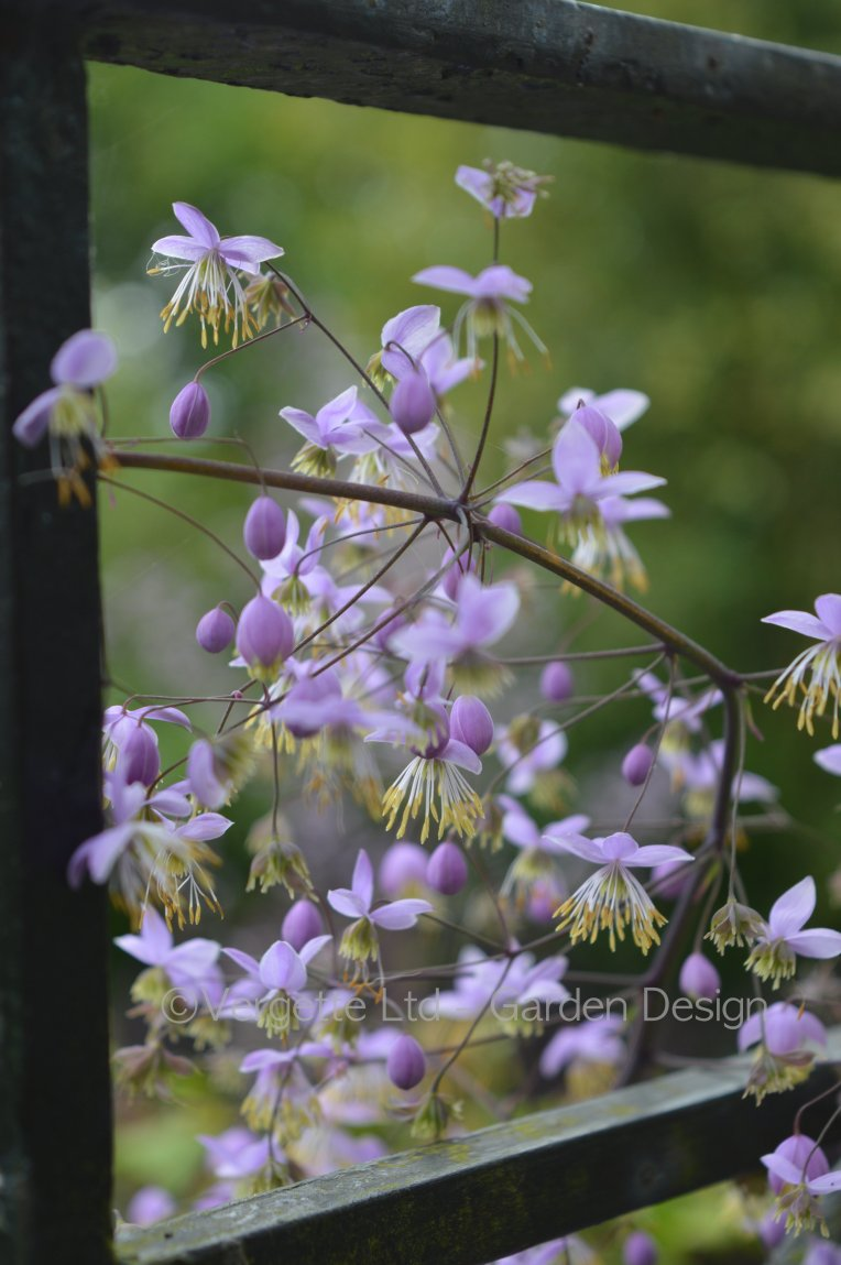 Thalictrum delavayi self sown flowering in August