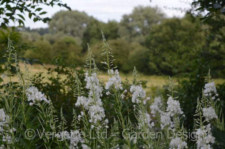 White Willowherb