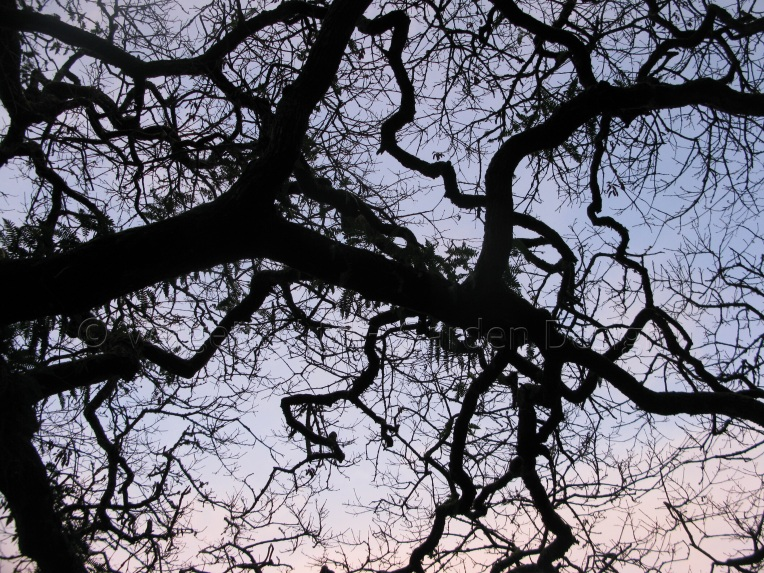 Vergette Garden Design Coastal Oak Tree