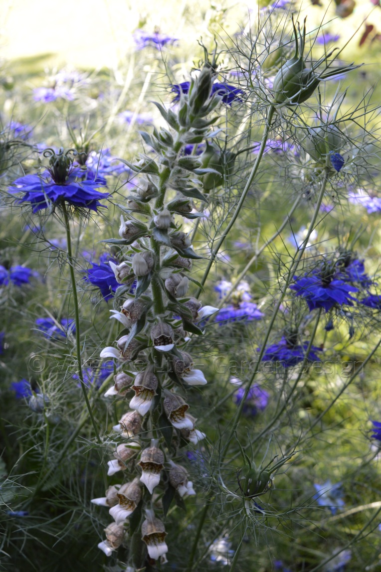 Self sown Nigella with Digitalis trojana also known as the Helen of Troy Foxglove Vergette Garden Design scheme